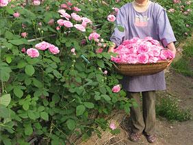 バラの花つみ