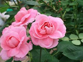 ローズウォーターのバラ